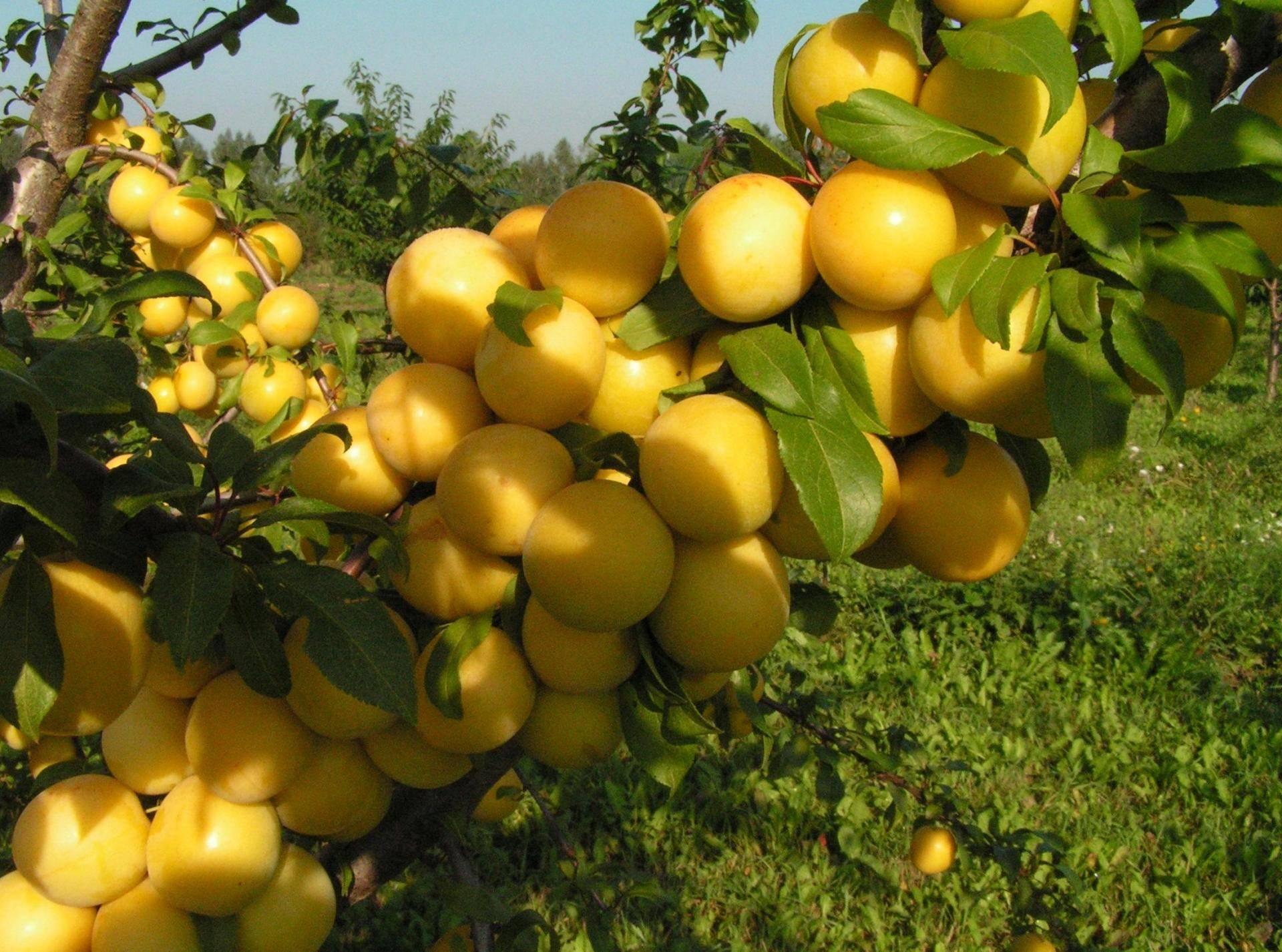 21 лучший сорт летних, осенних и зимних яблок