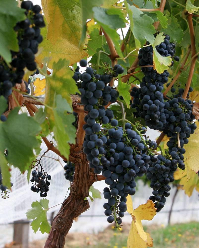 Виноград альфа и изабела опасен