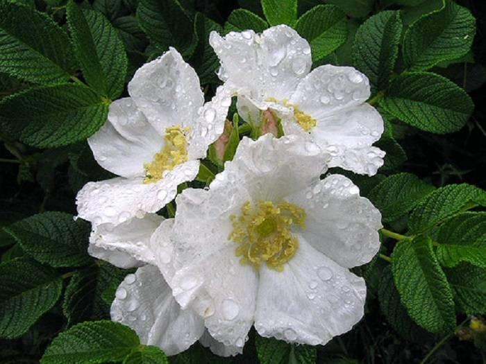Лучшие сорта штамбовых роз