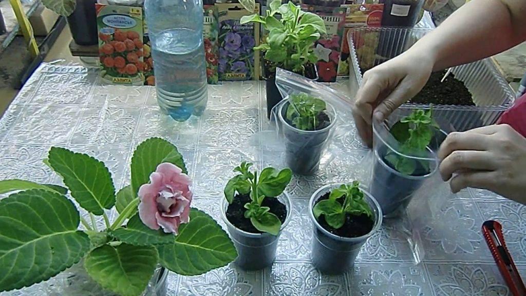 Преимущества черенкования петунии весной и осенью