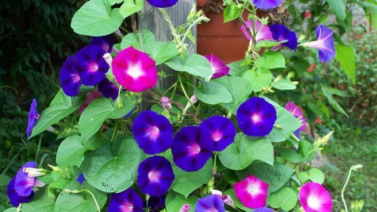 Ипомея сорта батат. как вырастить в открытом грунте. всё об уходе за растением