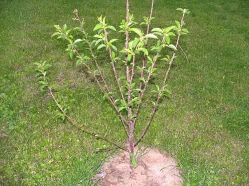 Как посадить вишню весной