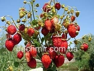 Подробное описание посева семян безусой земляники, характеристика сортов