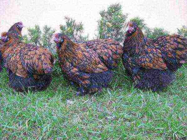 Порода кур орпингтон: описание, характеристика, отзывы