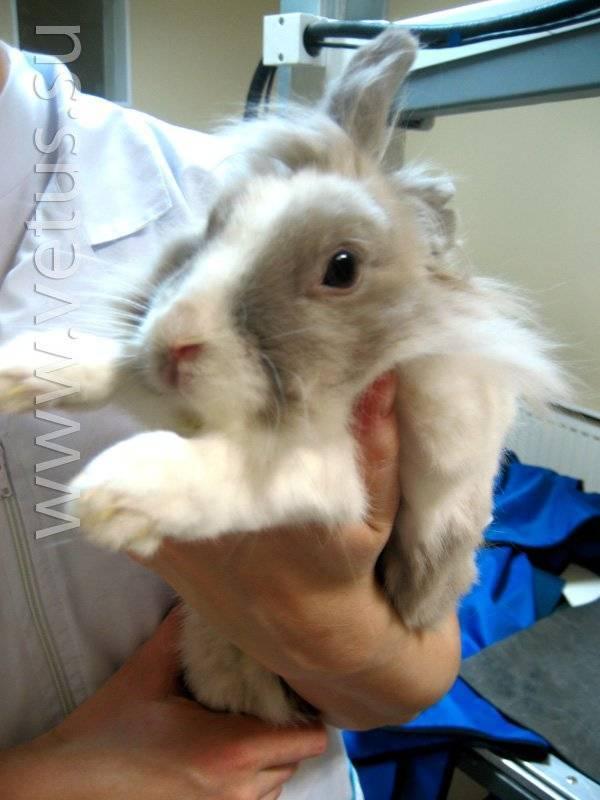 О вакцинации кроликов: какие прививки и когда их лучше делать, какая первая