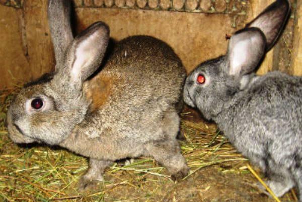 Как правильно случать кроликов?