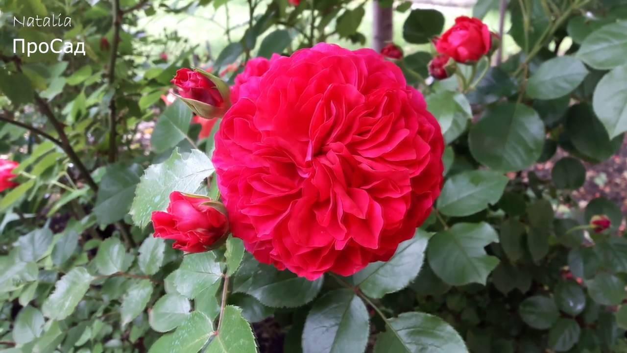 Роза чг карибиа — описание сорта, особенности агротехники