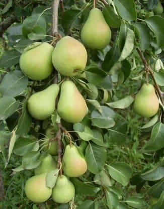 Груша лесная красавица — старейший и вкуснейший сорт, которому более 200 лет