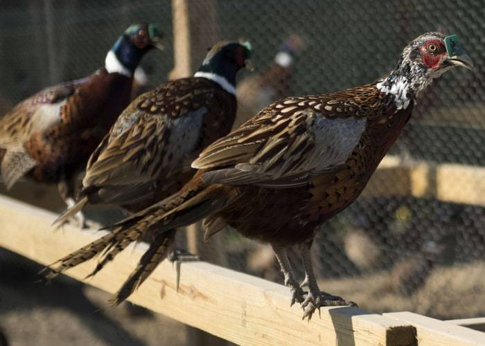 Фазан — особенности, ареал обитания, рацион питания, особенности размножения и секреты разведения птиц (90 фото + видео)