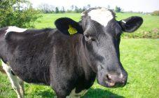 Болезни копыт у коровы