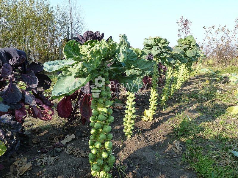 Брюссельская капуста - описание, польза, посадка и выращивание