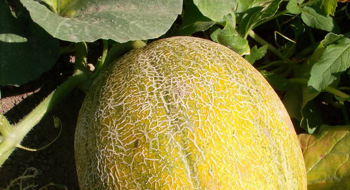 Выращивание дыни в открытом грунте: сорта, посадка, уход, сбор урожая