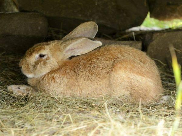 Какие породы кроликов лучше разводить на мясо в домашних условиях