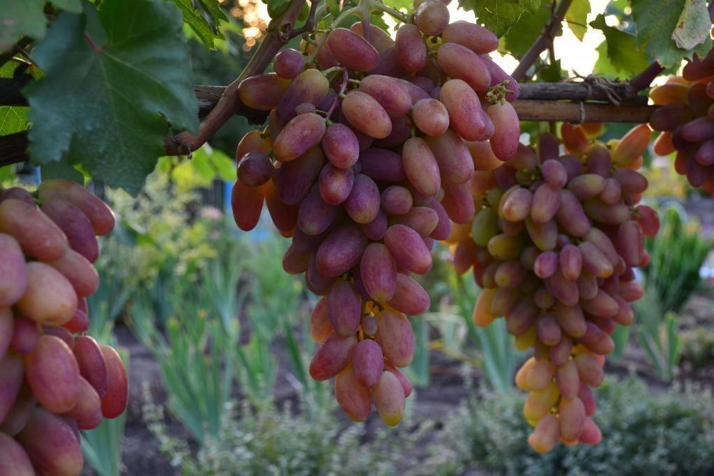 Описание сорта винограда дамские пальчики
