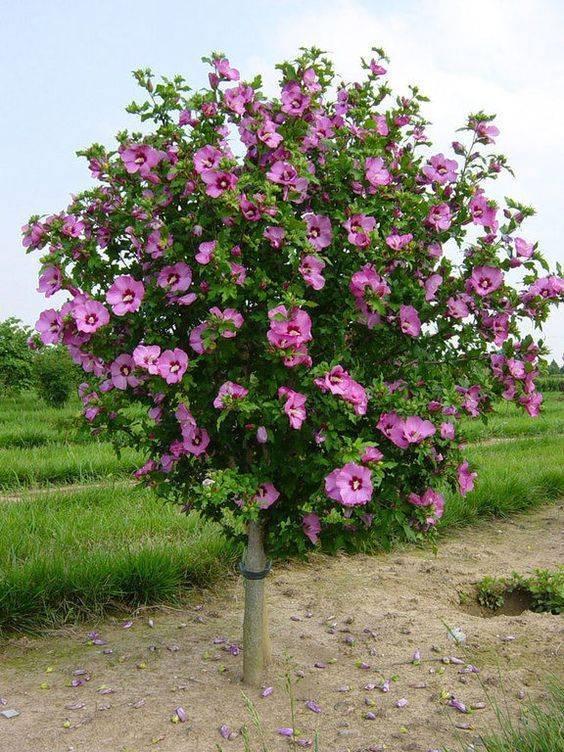 Растение гибискус или сирийская роза: посадка, садовый уход и размножение