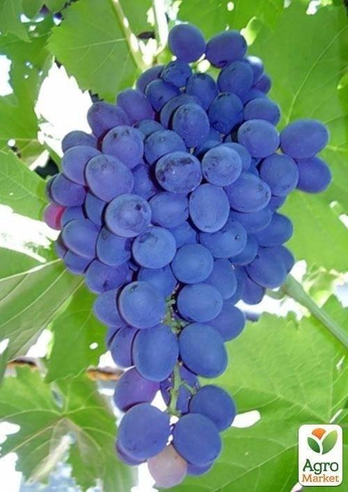О винограде Кардинал: описание и характеристики сорта, посадка и уход