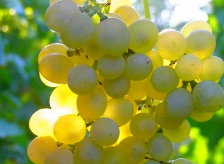 Морозостойкие сорта винограда: описание и характеристики 45 лучших, советы садоводов