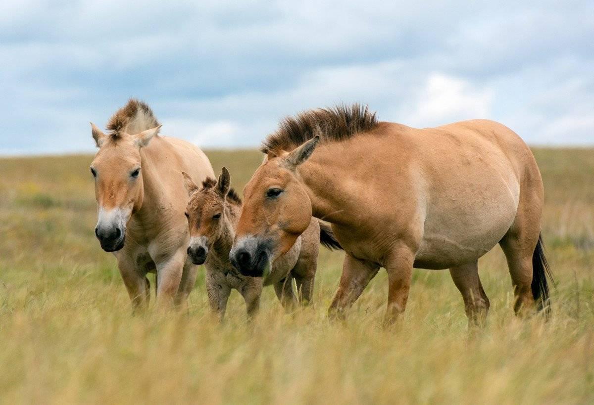 Лошадь пржевальского (equus ferus przewalskii): фото, виды