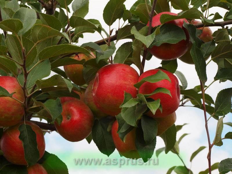 """Яблоня """"хани крисп"""":  50 фото, описание, посадка и уход, полезные свойства"""