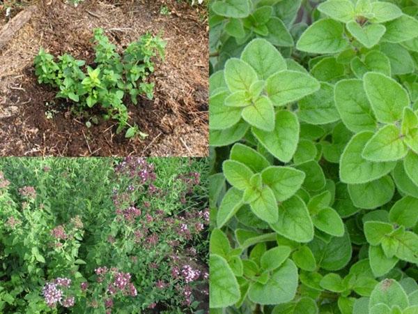 Посадка душицы в открытый грунт: выращивание из семян и правила ухода