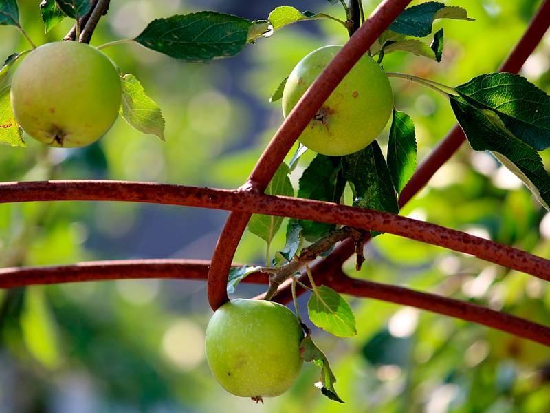 Как вырастить яблоню из семечка или ветки
