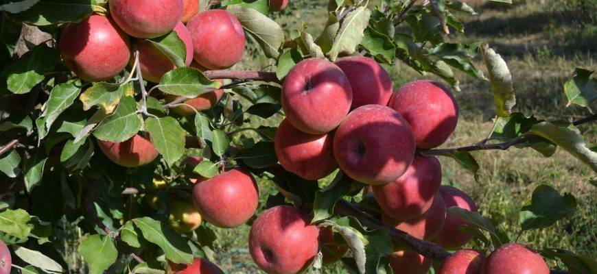 Яблоня апорт – выращивание в казахстане