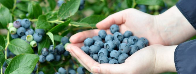 Голубика харди блю: характеристика сорта и тонкости выращивания