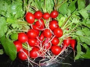 Тонкости выращивания  редиски под пленкой. советы, когда и как сажать семена, как ухаживать за посевами