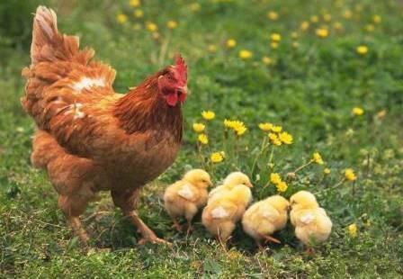Выращивание цыплят с наседкой от а до я