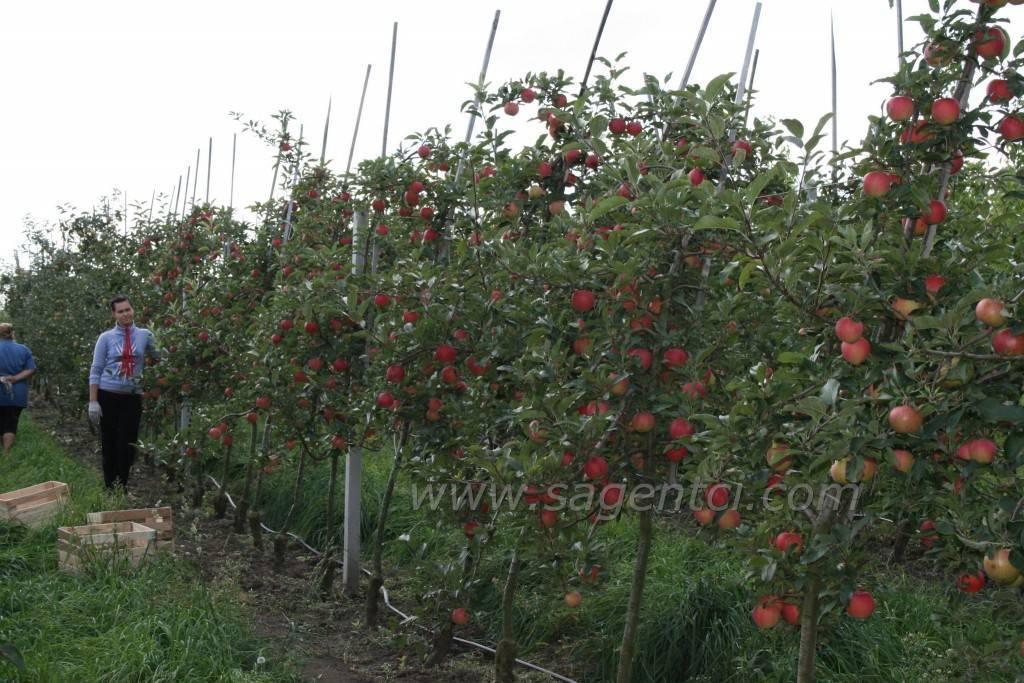 Что такое период вегетации у сливы