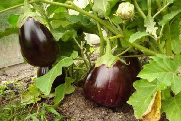Баклажан черный красавец: описание и характеристики сорта, особенности выращивания