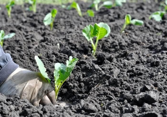 Белокочанная капуста каменная голова: преимущества сорта, особенности выращивания