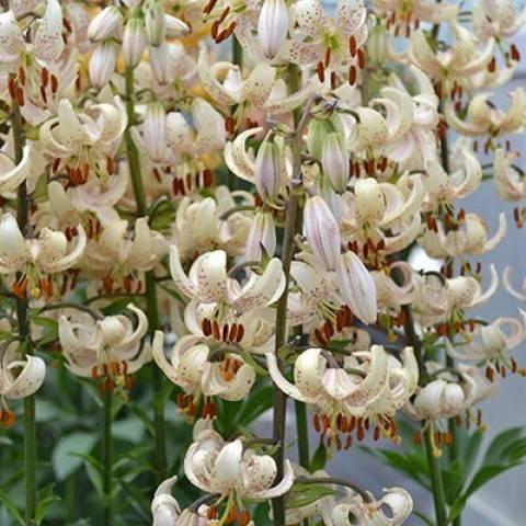 Все о тигровой лилии: как выглядит ланцетолистная лилия, посадка и выращивание