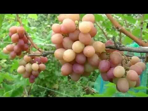 Виноград гурман лакомка описание сорта фото отзывы