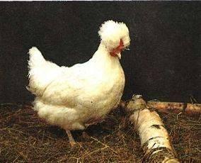 Русская хохлатая порода кур: характеристики породы, разведение, уход