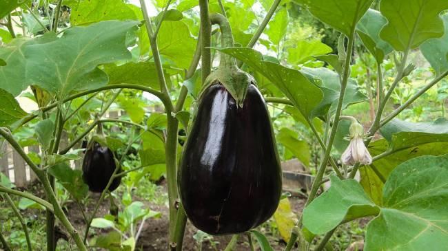 Как растут баклажаны: технология выращивания и секреты хорошего урожая