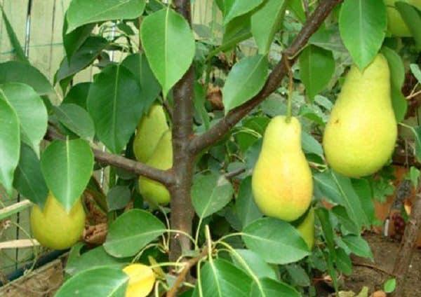 Правильная обрезка колоновидных яблонь – практическое руководство с фотографиями