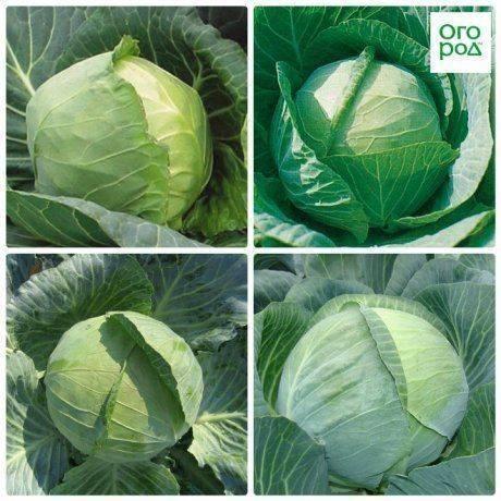 Выращивание рассады декоративной капусты: посев, уход, пикировка