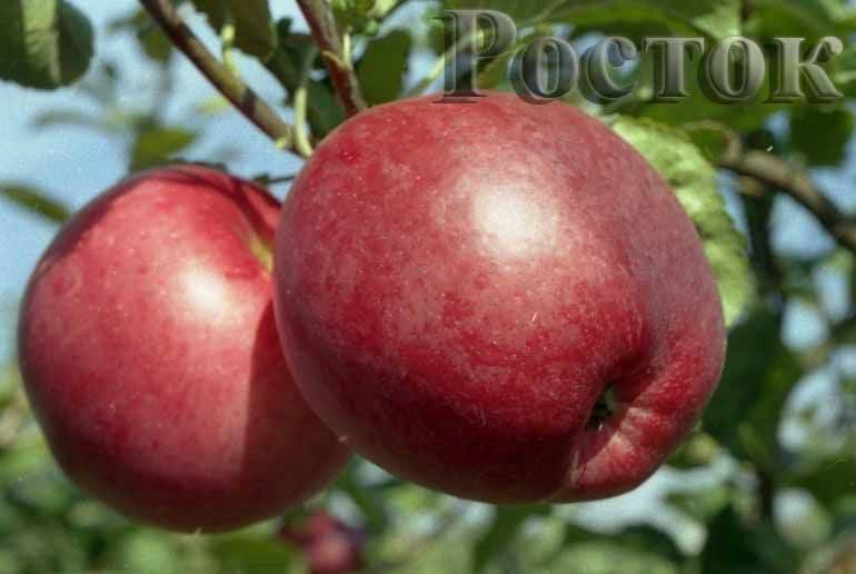 О яблоне спартан: описание сорта, характеристики, агротехника, выращивание