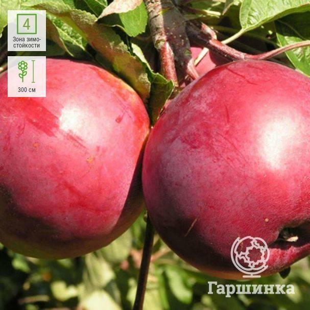 О яблоне Белорусское сладкое: описание и характеристики сорта, посадка и уход