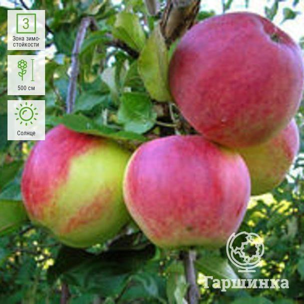 Летние сорта яблонь. описание, фото, мои отзывы, сравнительная таблица