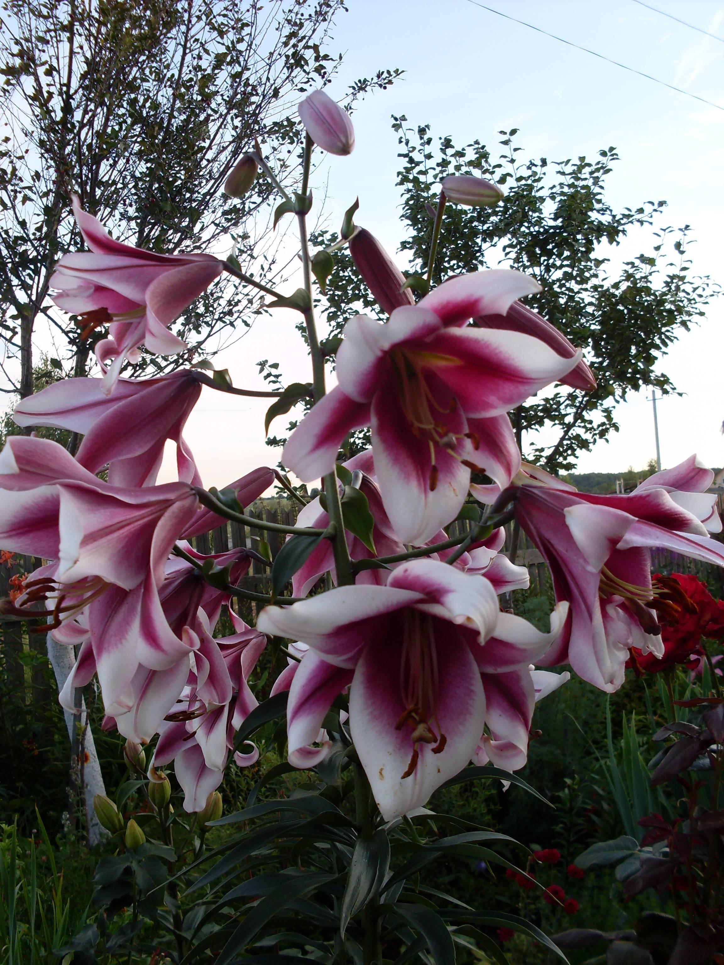 Гибридные лилии: обзор сортов, правила посадки и ухода