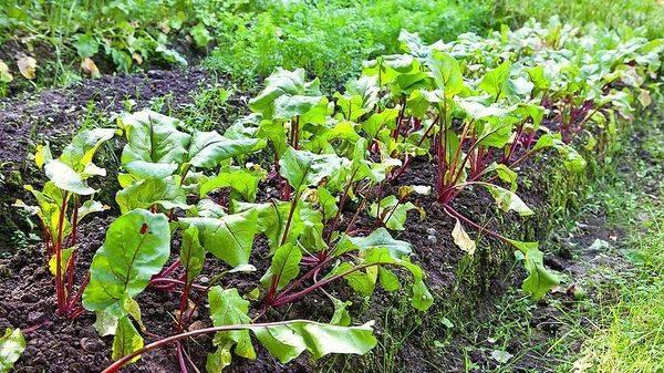 Почва для капусты белокочанной