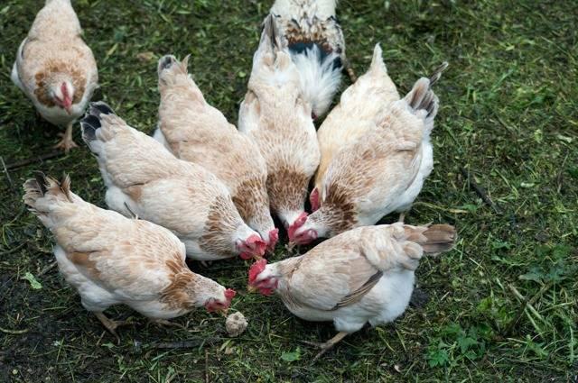 Загорская лососевая порода кур: описание и основные характеристики, фото цыплят и петухов