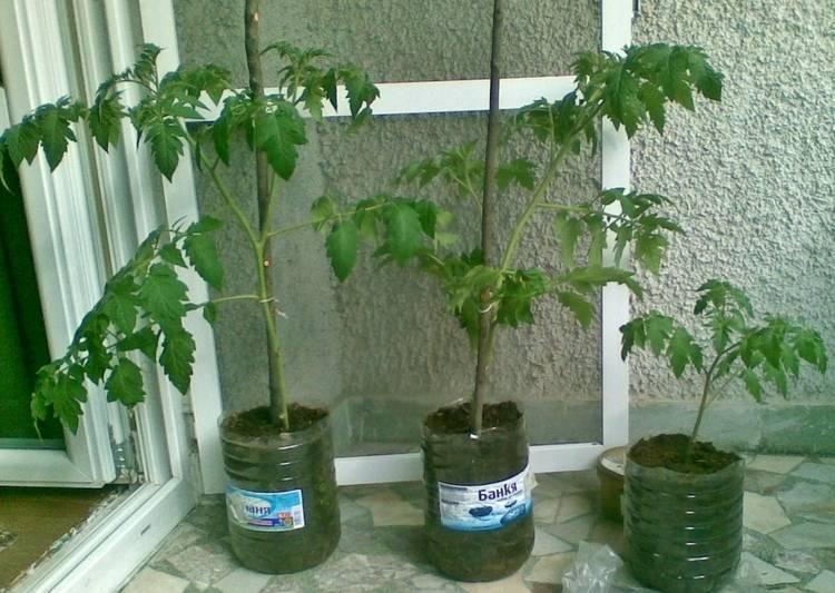 Выращивание помидор в бутылках пластиковых, как сажать томаты в 5 литровые бутылки
