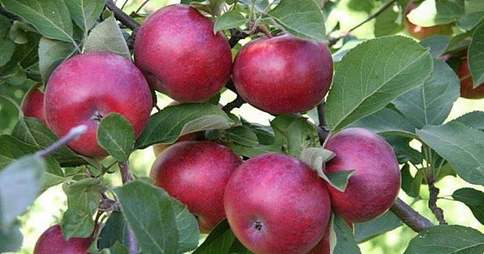 Сорт яблок лиголь
