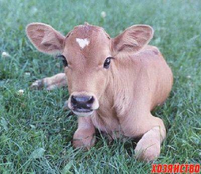 Как кормить теленка в первые дни и месяцы жизни
