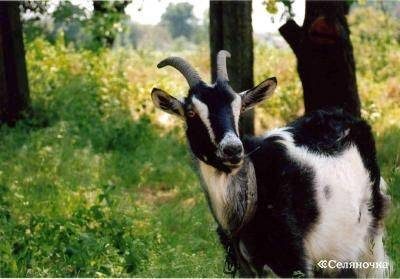 Все о козах болезни кашель у козы