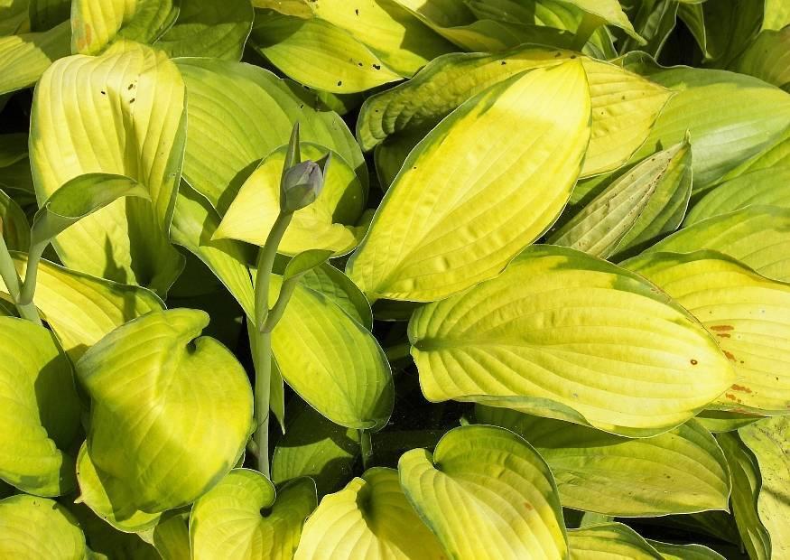 О хосте голден медоуз (golden meadows): описание и характеристики, агротехника