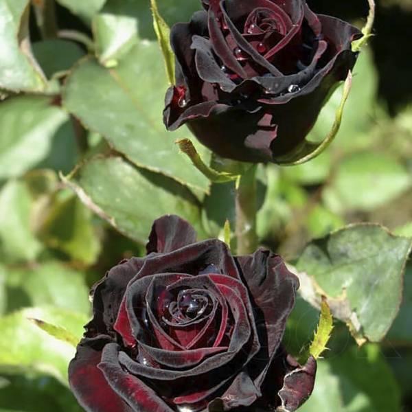 Роза чайно гибридная блэк баккара описание